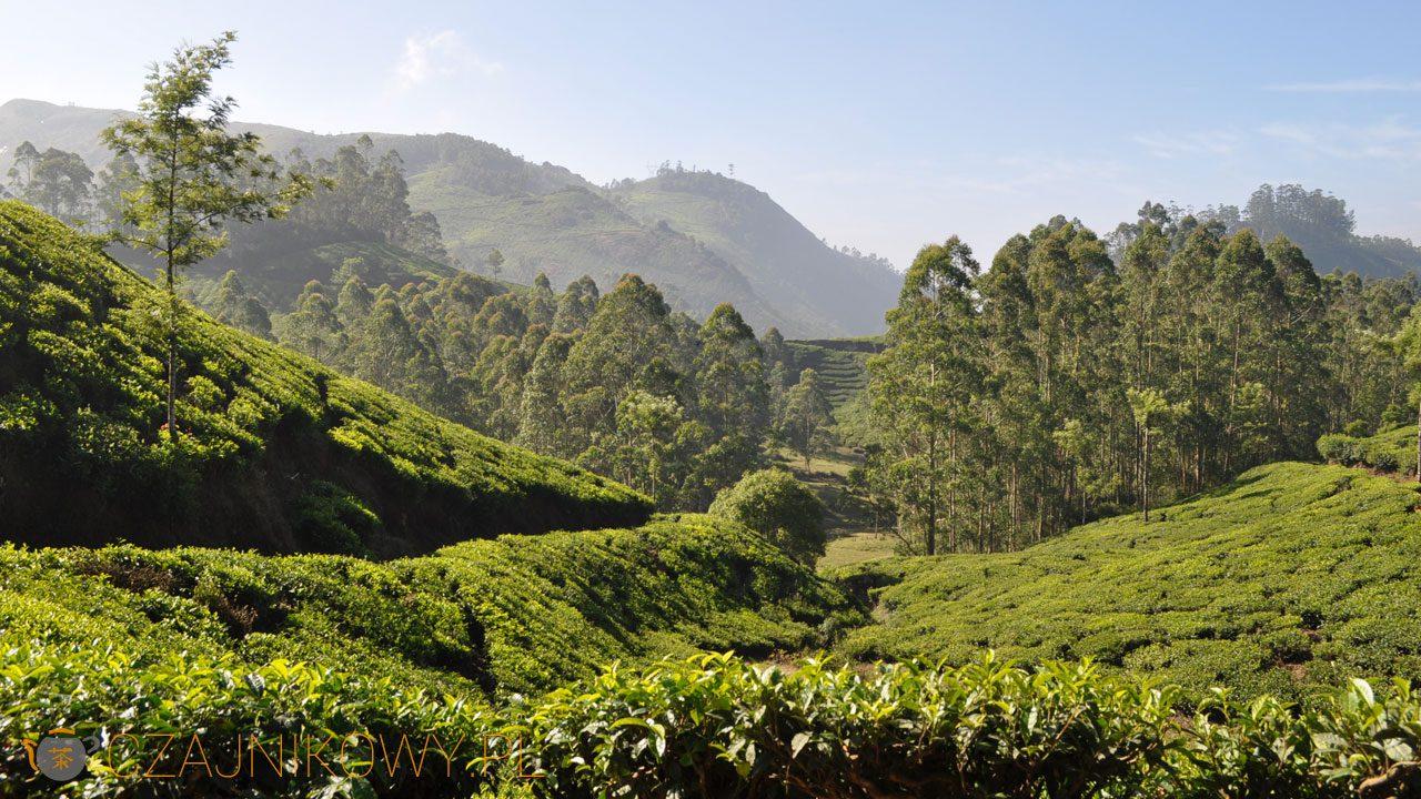 Plantacje herbaciane w Indiach (Munnar)