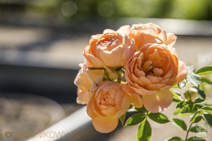 Herbata z różą i różane konfitury, czyli wszystkie zalety róży