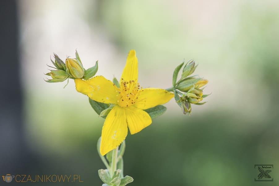 Dziurawiec: kwiat dziurawca
