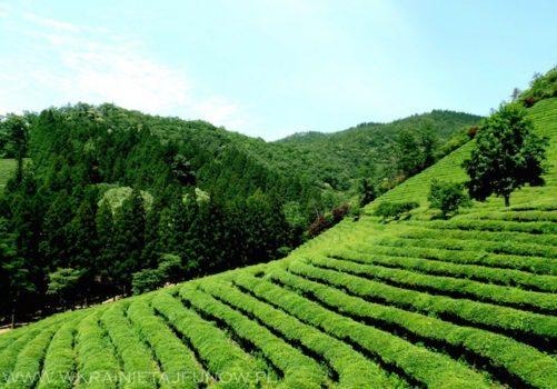 Herbata w Korei: plantacje herbaty