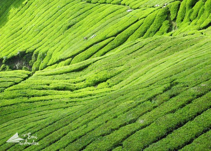 Plantacje herbaty w Indonezji