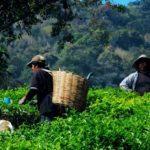 Herbata indonezyjska. Herbata z Indonezji Sumatra Oolong