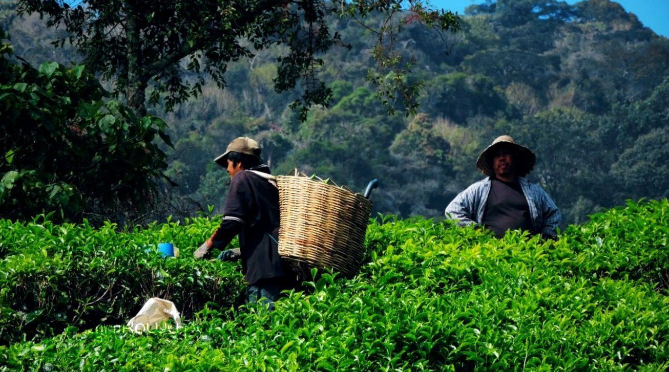 Herbata indonezyjska. Herbata z Indonezji Sumatra Oolong uprawy
