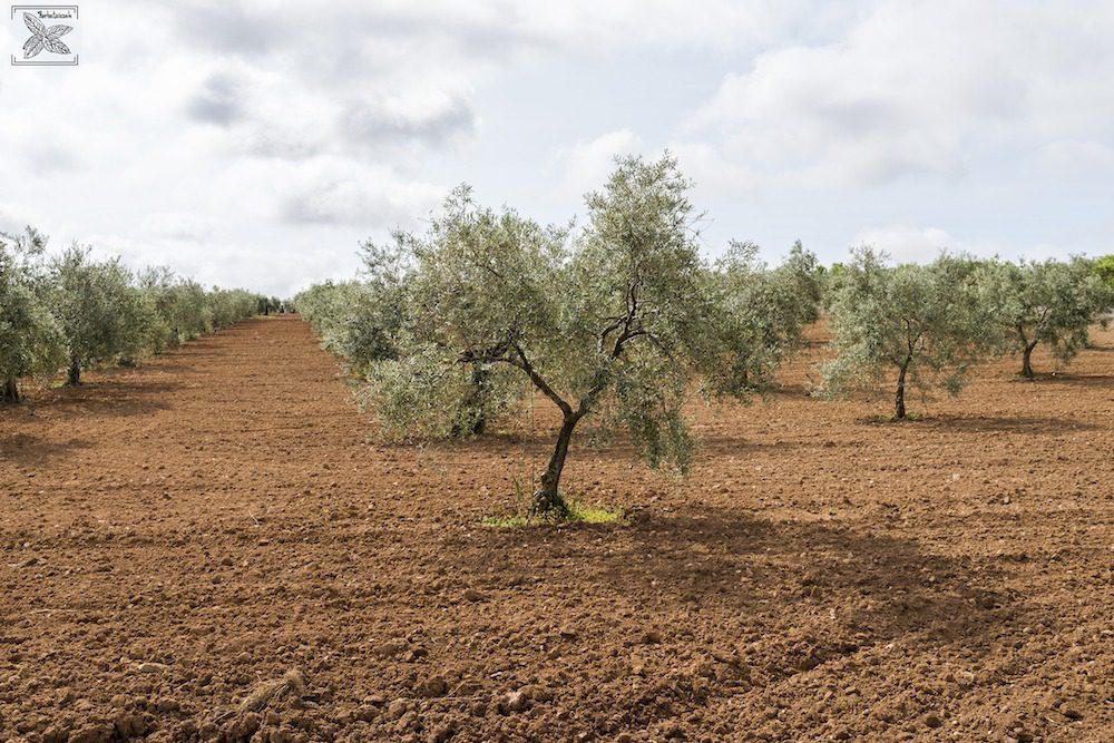 Herbata oliwna Olive Tea Organic: Oliwki w ogrodzie oliwnym w Hiszpanii