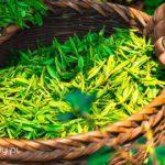 Japońska zielona herbata, której warto spróbować! Opinie