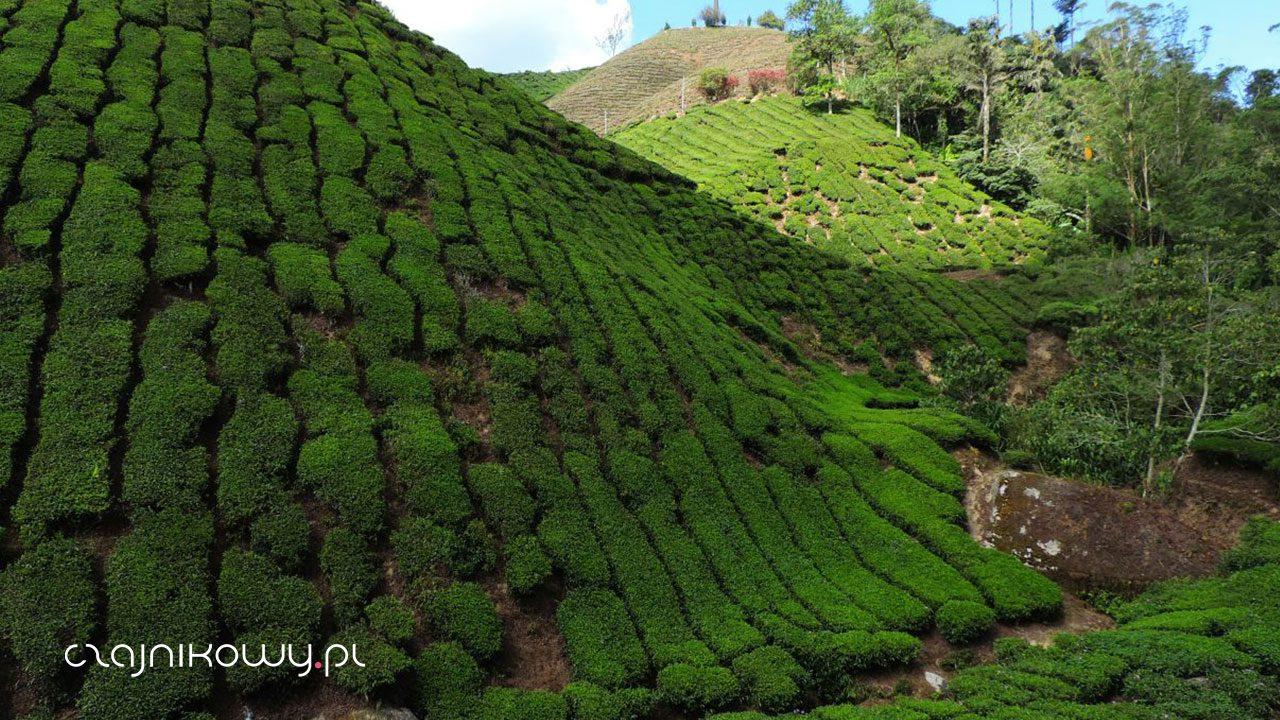 Gdzie rośnie herbata? Warunki uprawy herbaty