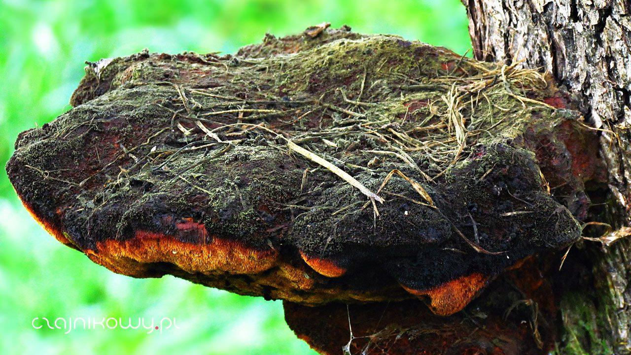 Huba brzozowa, czyli przepis na herbatę po Buriacku: właściwości