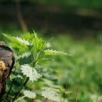 Herbata ziołowa na alergię: pokrzywa, parzenie