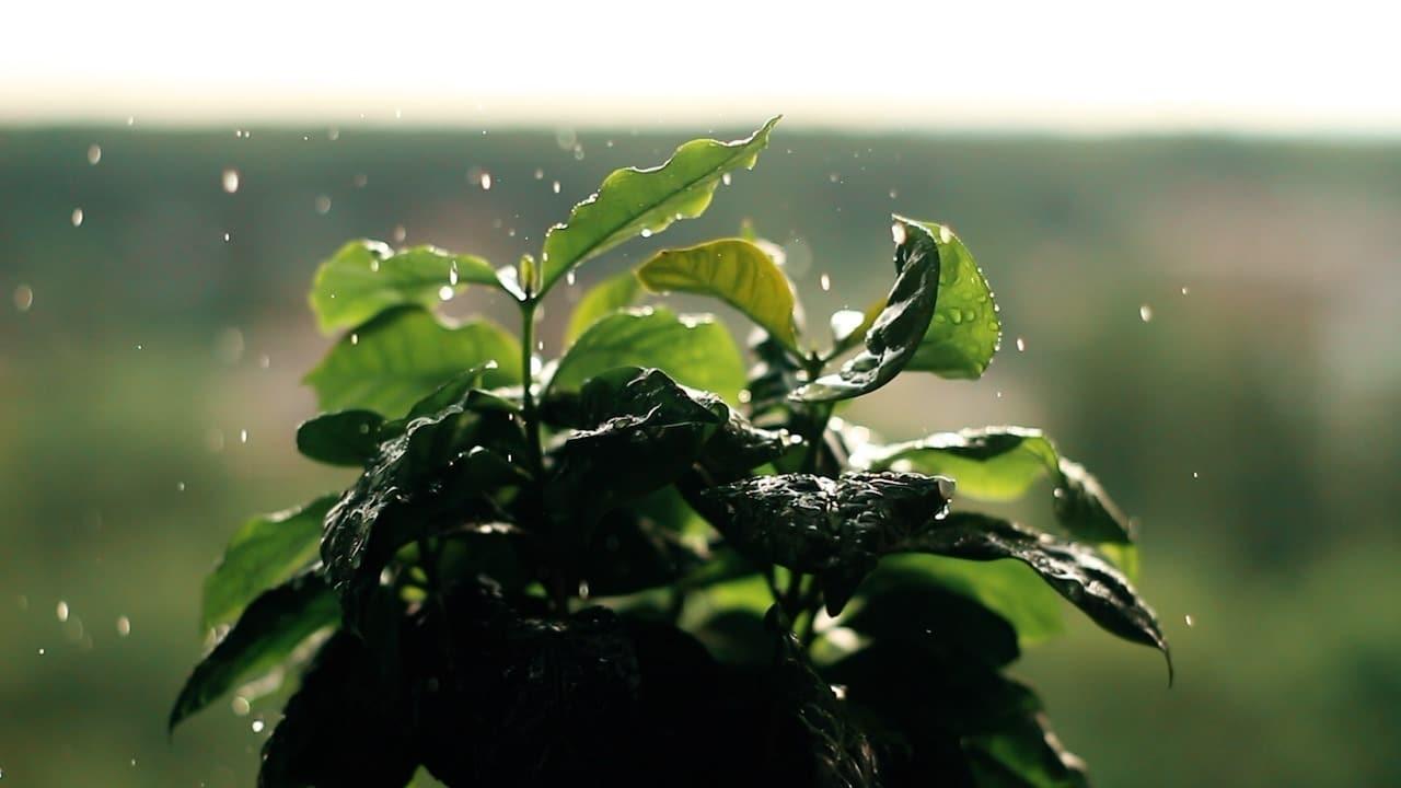 Czy kawa zniknie z Ziemi? Koniec arabiki?
