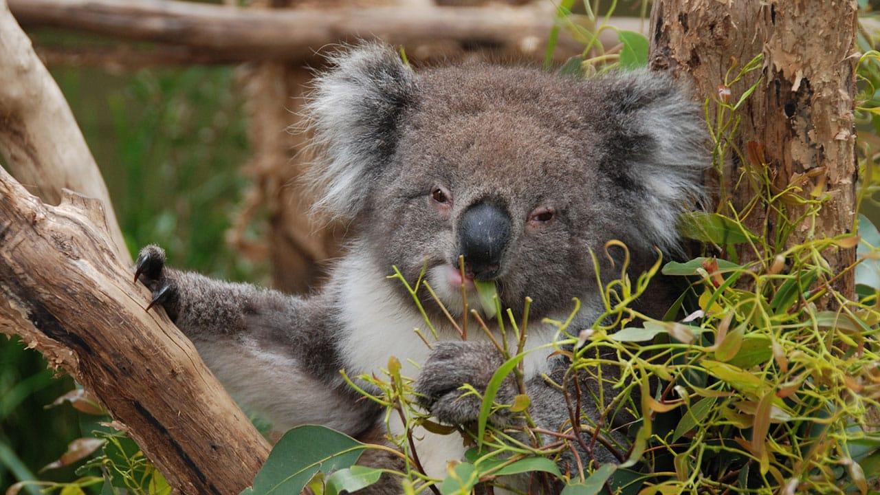 Ziołowa zmieszanka. Herbata złodziei: eukaliptus
