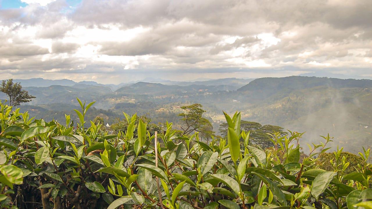 Terroir, czyli jak zmienia się smak herbaty w zależności od zbioru z plantacji (fot. Artur Kowalski)