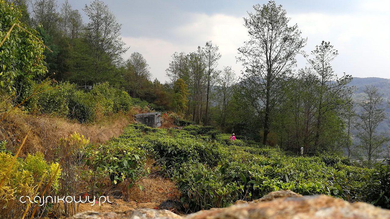 Chińska herbata: pole herbaty