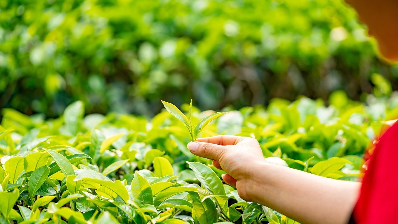 Produkcja herbaty w domu