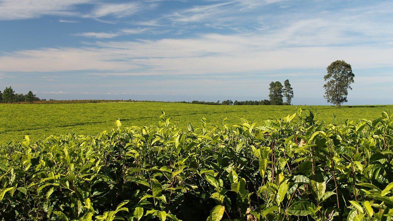 VSS, Fair trade, organic - certyfikowane uprawy w rynku herbacianym?